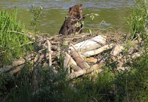 Beaver with dam, by Marcin Klapczynsk.